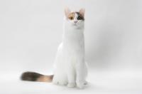 Picture of Blue Tortie & White Turkish Van cat