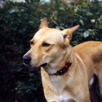 Picture of Boneh me Shaar Hagai, canaan dog, portrait