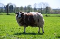 Picture of bonte Texel sheep, ewe side view