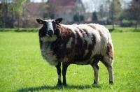 Picture of bonte Texel sheep, ewe