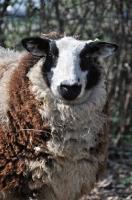 Picture of Bonte texel (texelaar) sheep, portrait