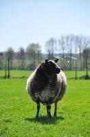 Picture of Bonte Texelaar sheep