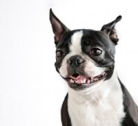 Picture of Boston Terrier grimacing