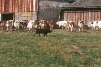 Picture of Bouvier des Ardennes at a farm