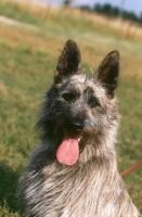 Picture of Bouvier des Ardennes portrait