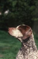 Picture of Braque Bourbonnais portrait