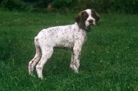 Picture of Braque Bourbonnais puppy