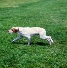 Picture of braque de bourbonnais running on grass