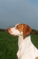 Picture of Braque Saint Germain profile, aka Saint Germain pointer