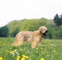 Picture of Briard in a field