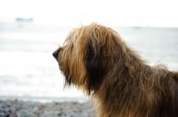Picture of Briard profile