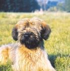 Picture of briard puppy