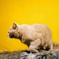 Picture of British Shorthair cream cat turning away
