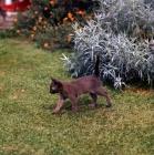 Picture of brown burmese kitten walking in a garden