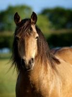 Picture of brown Connemara horse, portrait