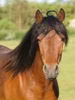 Picture of brown Connemara pony, portrait