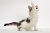 Picture of Brown Tabby & White Norwegian Forest kitten, one leg up
