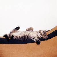 Picture of brown tabby shorthair kitten asleep