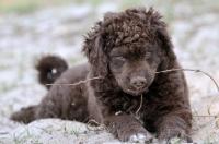 Picture of brown Wetterhound puppy