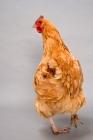 Picture of Buff Rock hen walking away in studio
