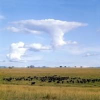 Picture of buffalo herd in queen elizabeth np, Uganda