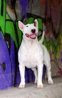 Picture of Bull Terrier near grafiti