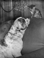 Picture of bulldog and kitten under mistletoe