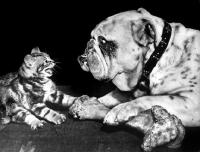 Picture of Bulldog defending bone from kitten