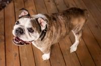 Picture of Bulldog in wooden floor