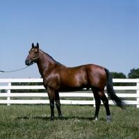 Picture of bullet hanover, standardbred stallion at hanover shoe farm