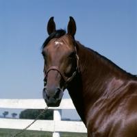 Picture of bullet hanover,standardbred stallion at hanover shoe farm