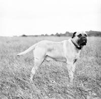 Picture of bullmastiff in field