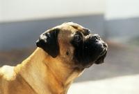 Picture of bullmastiff, portrait looking up