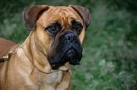 Picture of bullmastiff portrait