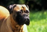 Picture of bullmastiff, portrait