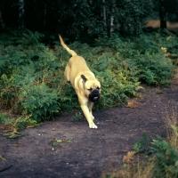 Picture of bullmastiff racing through bracken in forest