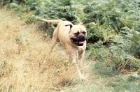Picture of bullmastiff running