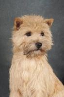 Picture of Cairn Terrier portrait on dark grey background