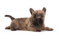Picture of Cairn Terrier puppy in studio
