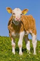 Picture of calf in Switzerland