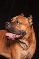 Picture of Cane Corso portrait