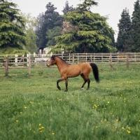 Picture of Caspian Pony, Moroun in field
