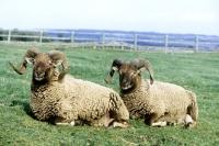 Picture of castlemilk moorit sheep at cotswold farm park