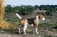 Picture of ch beacott buckthorn, (bucky), beagle standing on farmland