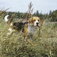 Picture of ch beacott buckthorn, (bucky) beagle staring through long grass