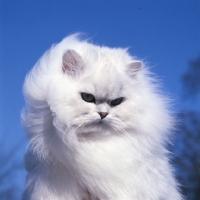 Picture of ch bonavia bella maria, chinchilla cat looking down