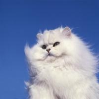 Picture of ch bonavia bella maria, chinchilla cat surveying its territory