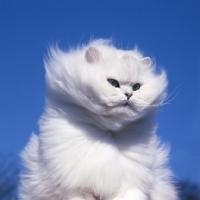 Picture of ch bonavia bella maria, chinchilla cat in the wind