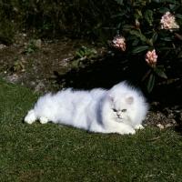 Picture of ch bonavia bella maria, fluffy chinchilla cat