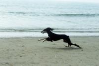 Picture of ch burydown hephzibah, saluki galloping on beach